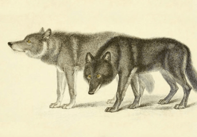 wolf dog hybrids what you need to know